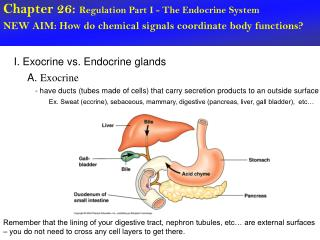 Chapter 26:  Regulation Part I - The Endocrine System