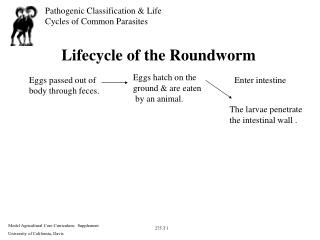 Lifecycle of the Roundworm