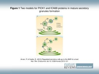 Figure 1  Two models for PICK1 and ICA69 proteins in mature secretory granules formation
