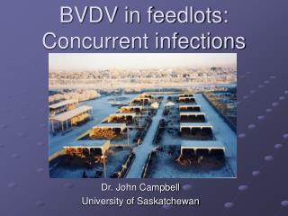 BVDV in feedlots:  Concurrent infections