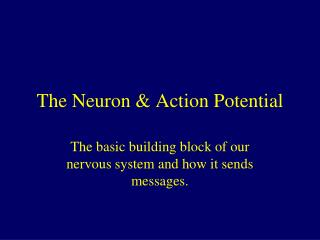The Neuron & Action Potential
