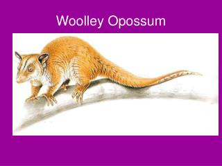 Woolley Opossum