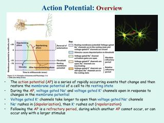 Action Potential:  Overview