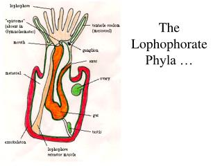 The Lophophorate Phyla …
