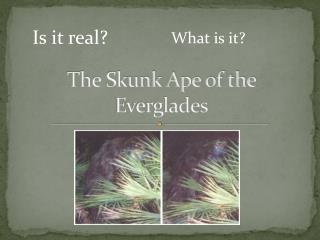 The Skunk Ape of the Everglades