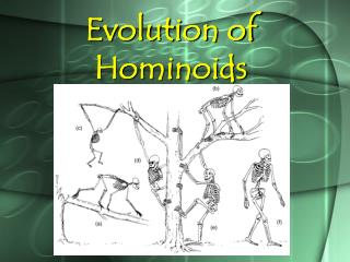 Evolution of Hominoids