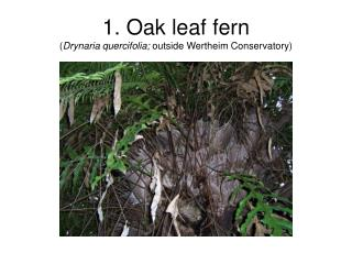 1. Oak leaf fern ( Drynaria quercifolia;  outside Wertheim Conservatory)