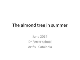 The almond tree in summer