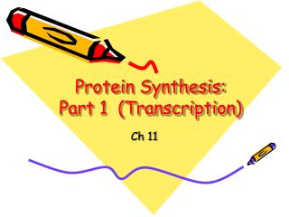 Protein Synthesis:  Part 1  (Transcription)