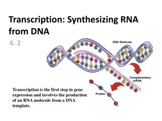 Transcription: Synthesizing RNA from DNA