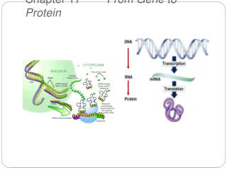 Chapter 17~       From Gene to Protein