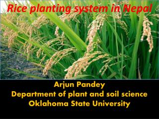 Rice planting system in Nepal      Arjun Pandey Department of plant and soil science Oklahoma State University