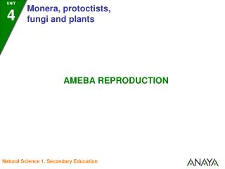 3. Two daughter ameba are produced.