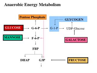 Anaerobic Energy Metabolism