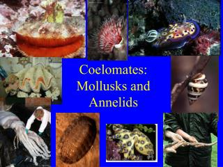 Coelomates: Mollusks and Annelids