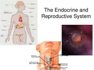 The Endocrine and Reproductive System