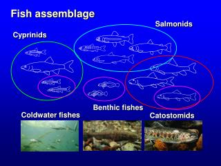 Fish assemblage