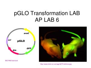 pGLO Transformation LAB AP LAB 6