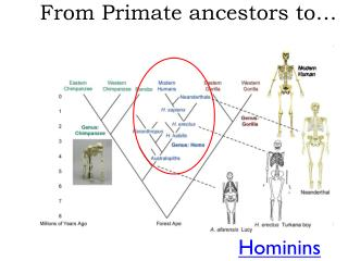 From Primate ancestors to…