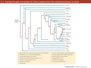 3.1  Tracing the path of evolution to  Homo sapiens  from the universal ancestor of all life