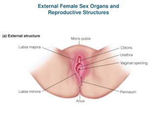 External Female Sex Organs and Reproductive Structures