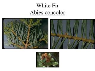 White Fir Abies concolor