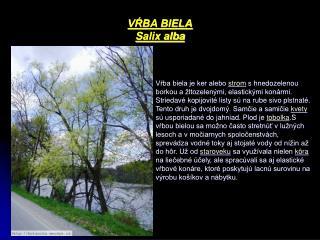 VŔBA BIELA Salix alba