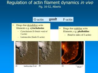 Regulation of actin filament dynamics  in vivo Fig. 16-52, Alberts