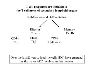 T cell responses are initiated in  the T cell areas of secondary lymphoid organs