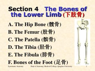 Section 4 The Bones of the Lower Limb ( 下肢骨 )