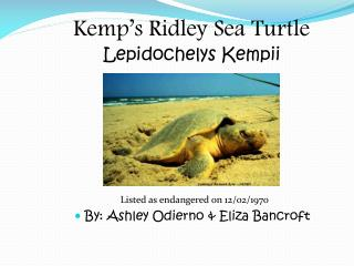 Kemp's Ridley Sea Turtle Lepidochelys Kempii