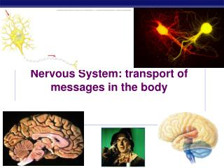 Nervous System: transport of messages in the body