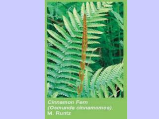 Climbing fern