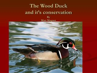 The Wood Duck and it's conservation  By  Matt Maguet