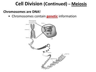 Cell Division  (Continued)  –  Meiosis Chromosomes are DNA!