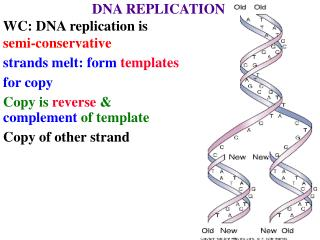 DNA REPLICATION WC: DNA replication is  semi-conservative strands melt: form  templates for copy