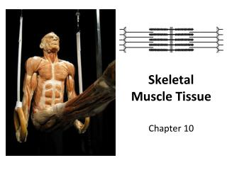 Skeletal Muscle Tissue