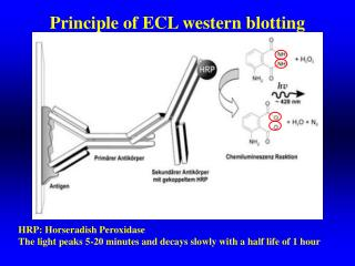 Principle of ECL western blotting