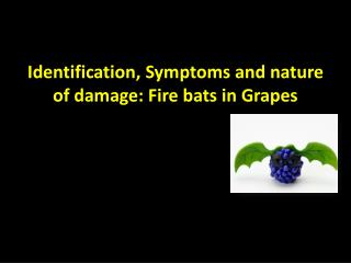 Identification, Symptoms and nature of damage: Fire bats in Grapes