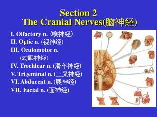 Section 2     The Cranial Nerves( 脑神经 )