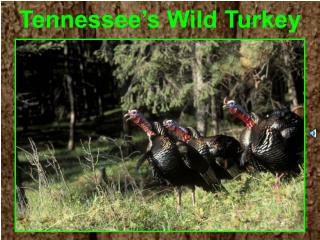 Tennessee's Wild Turkey