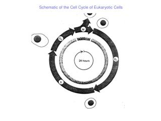 Schematic of the Cell Cycle of Eukaryotic Cells