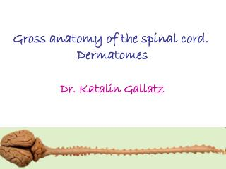 Gross anatomy of the spinal cord.  Dermatomes Dr. Katalin Gallatz