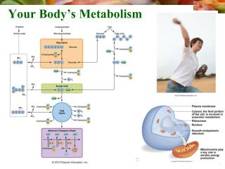 Your Body's Metabolism