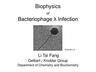Biophysics  of Bacteriophage λ Infection