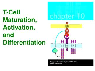 T-Cell Maturation, Activation,  and Differentiation