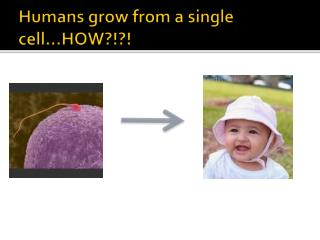 Humans grow from a single cell…HOW?!?!