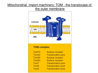 Mitochondrial  import machinery: TOM - the translocase of  the outer membrane