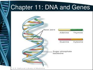 Chapter 11: DNA and Genes