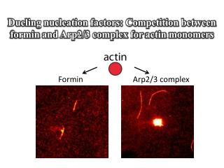 Dueling nucleation factors: Competition between formin and Arp2/3 complex for actin monomers